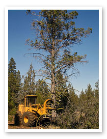 Juniper removal efforts