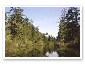 Tidal spruce swamp, Blind Slough, Clatsop County