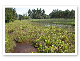 Coastal fen with Darlingtonia, Curry County