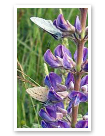 Fender's Blue Butterfly on Kincaid's Lupine