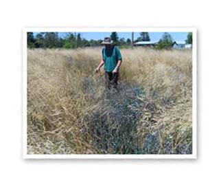 Using herbicide to control invasive plants at West Eugene Wetland